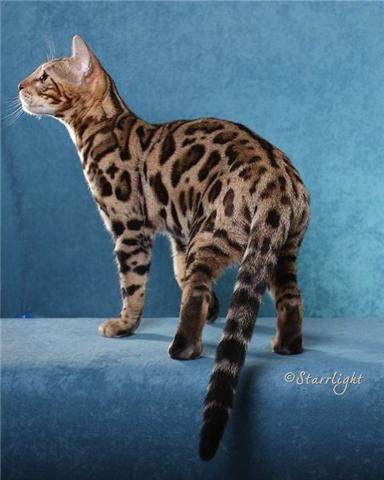 Cost Of Keeping A Bengal Cat