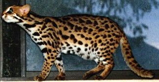 "Asian Leopard Cat named ""Art Deco"""