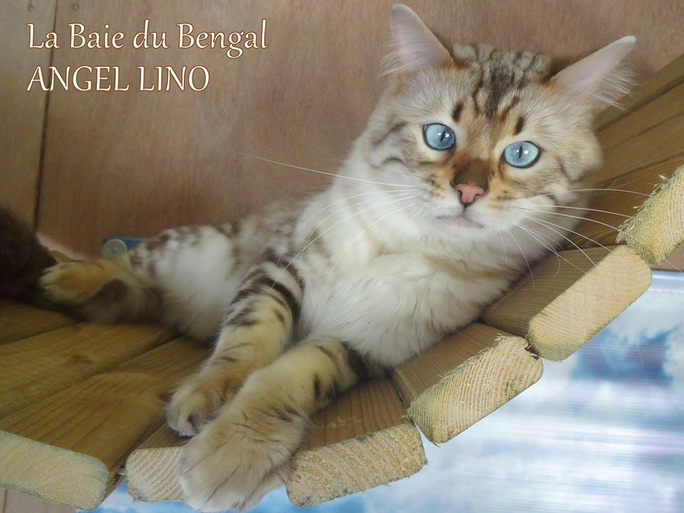 Seal Lynx Marble CASHMERE Bengal