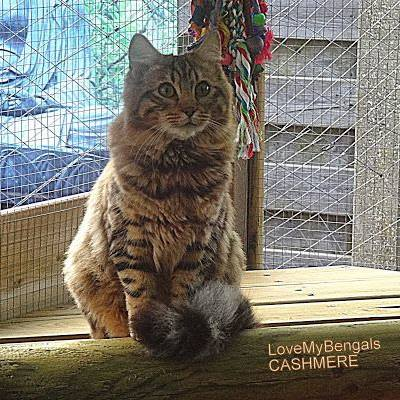 Brown Tabby spotted CASHMERE Bengal, Carries for snow !