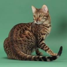 GRC Jungletrax Sweet Spice n' Spots brown bengal is the mommy cat.