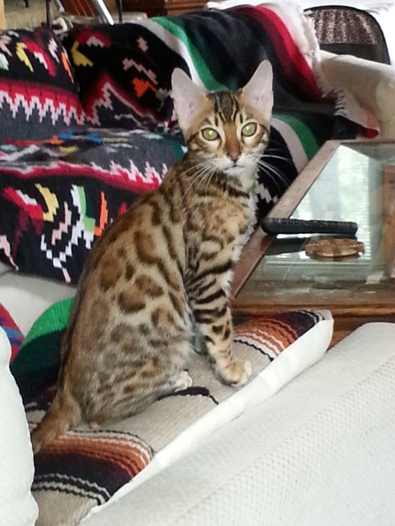 Bengalmanor Lord Catsby
