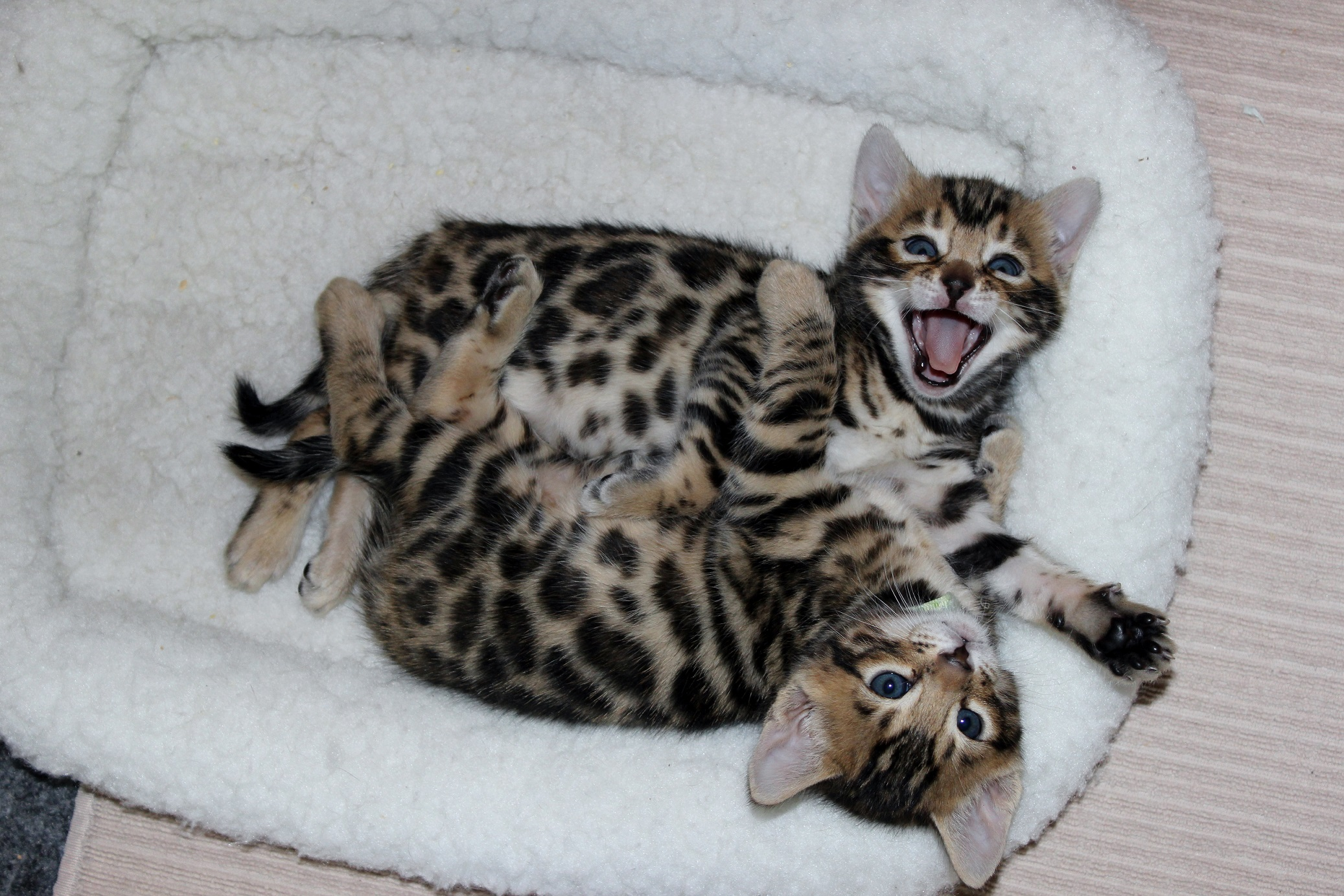 Bengal Cats For Sale San Diego Ca