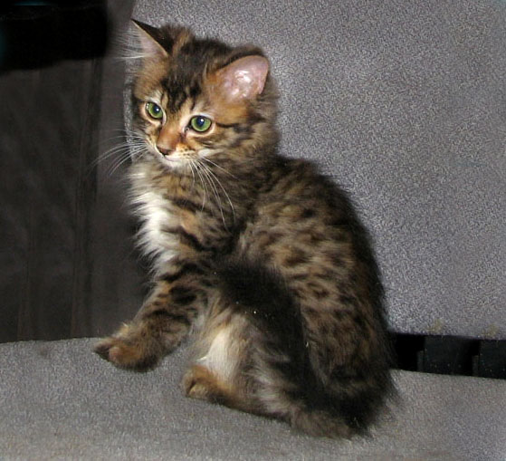 Charcoal Marble Cat Charcoal Brown Bengal Cat Courtesy Of
