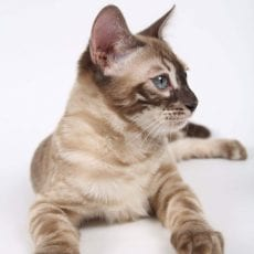 Charcoal Snow Mink Bengal
