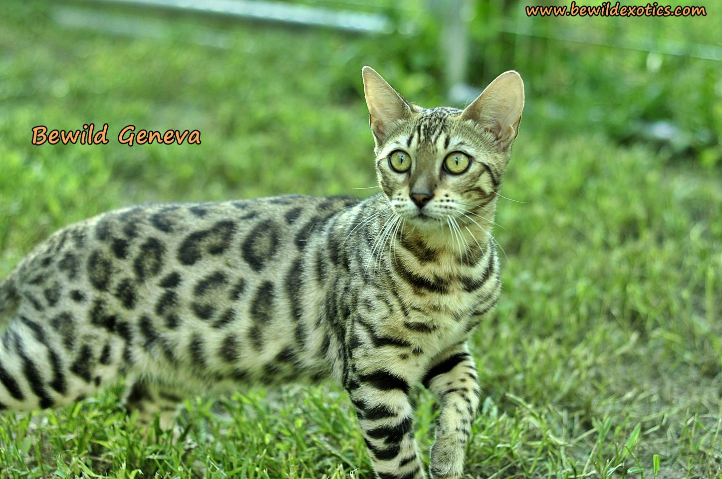Bengal kittens for sale maidstone