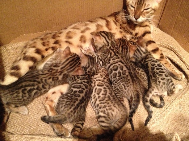 bengal cat texas for sale