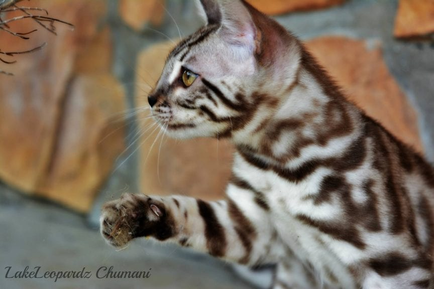 CH. LakeLeopardz Chumani of NW Bengalcats, Silver Sepia Spotted