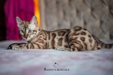 snow bengal, double charcoal, mandysbengals, seal mink