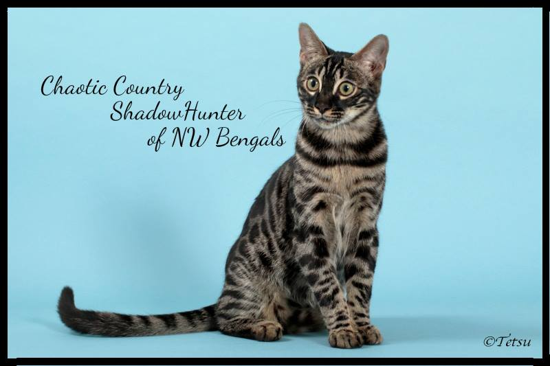 GRC. ChaoticCountry ShadowHunter of NW Bengalcats, Brown Charcoal Spotted
