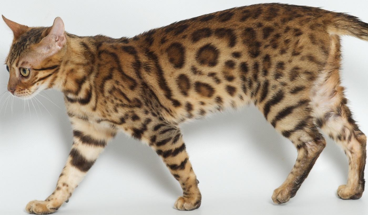Lap Leopard Bengals