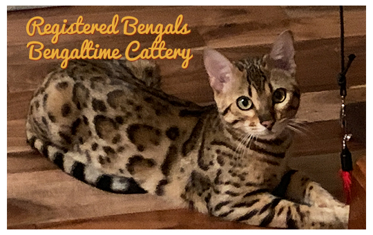 The Bengal Cat Directory – Resource for Bengal Cats, Kittens, and