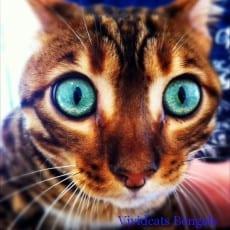 Vividcats Tinkabell