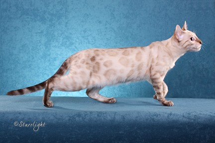 "Seal Lynx Point ""Snow"" Spotted Bengal"