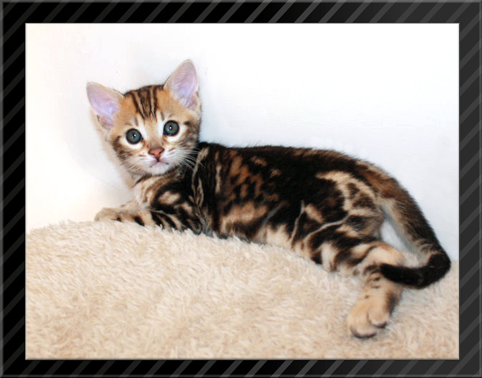 Brown marble Bengal kitten