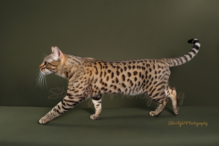 CH. BengalFlats Maverick of NW Bengalcats, Brown Spotted