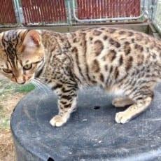 Nut n' Meg: available female, brown bengal kitten