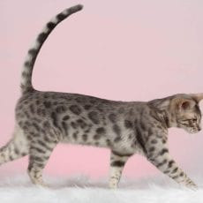 Silver Blue Bengal, carries Lynx