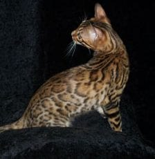 Rosetted bengal adult